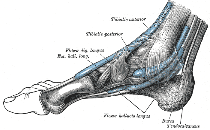 enthesis of tendon There are 2 types of entheses (7), fibrous entheses and fibrocartilaginous entheses fibrous entheses, such as medial collateral ligament enthesis in the knee, provide a direct attachment of the tendon or ligament to the bone via the periosteum fibrocartilaginous entheses, such as achilles tendon enthesis.