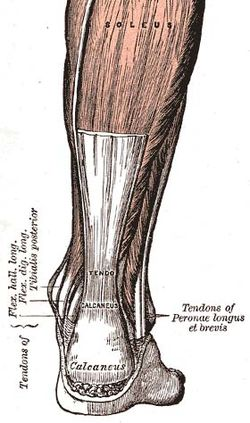 achilles tendon enthesis Group consisted of 30 patients with pains in the achilles tendon enthesis and 38 patients with suspected enthesitis of the plantar surface of tuber calcanei (plantar aponeuro-sis and flexor digiti brevis tendon entheses) all patients were referred for ultrasound scans by sen.