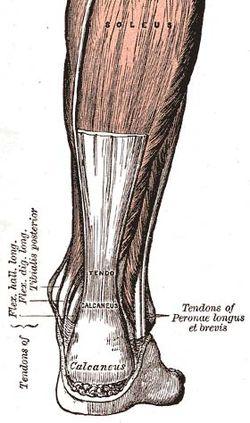 calcaneal enthesis